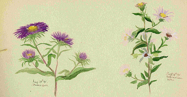 Watercolor of wildflowers, by Ella Mabel Clark